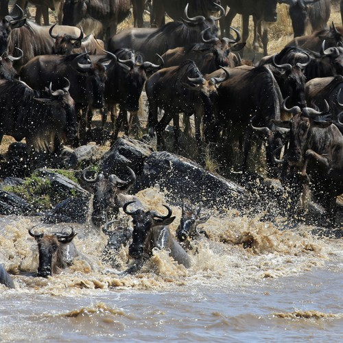 WHAT A TRAGEDY; more than 300 wildebeest drown in the mara.