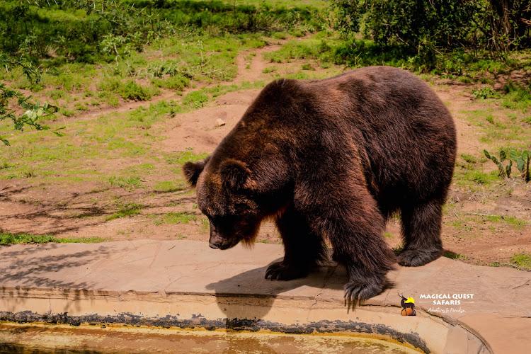 THE ONLY LIVING BEAR IN AFRICA/KENYA.